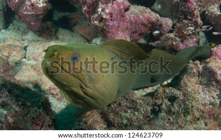 Green Moray Eel with Neon Gobies