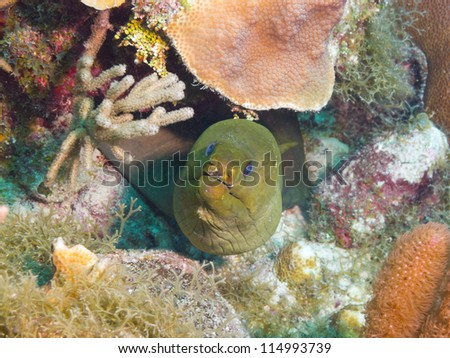 Green moray (Gymnothorax funebris) - stock photo