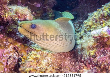 green moray, Gymnothorax funebris, is a moray eel of the family Muraenidae, found in the western Atlantic - stock photo