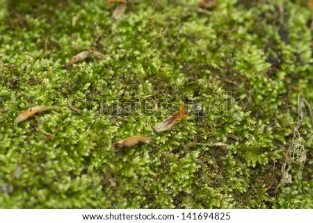 green moss, close up to green moss carpet in the wood