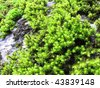 green moss  during winter time - stock photo