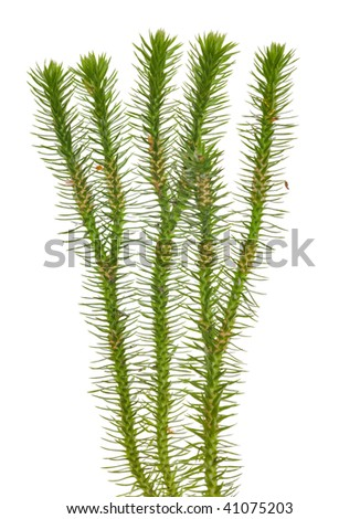 green moss isolated on white background - stock photo