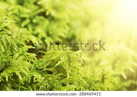 Green moss macro natural eco blurred background - stock photo