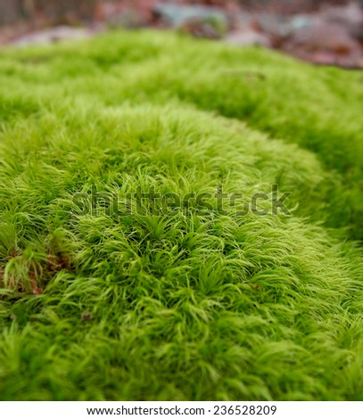 Green moss, of the variety  Dicranum scoparium, growing in tufts outdoors in the woods.  - stock photo