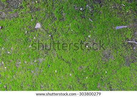 Green moss on old wall, Moss on the wall,Closeup of Moss on the wall - stock photo