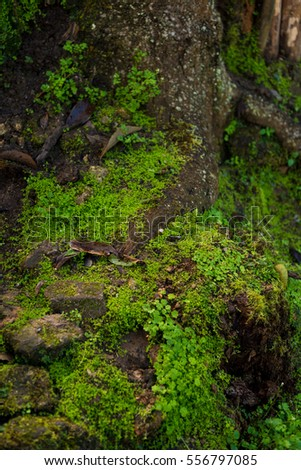 Green moss on root of big tree.