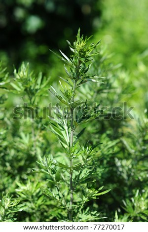 Green mugwort branch and leaves close up - stock photo