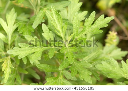 Green  Mugwort's fresh leaves (Artemisia argyi) - stock photo