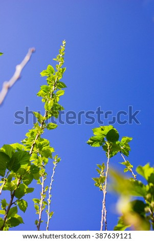 Green Mulberry branch against with blue sky - stock photo