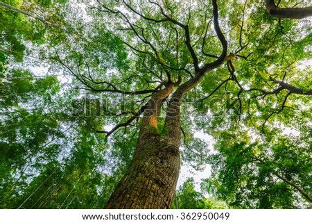 Green natural background of Camphor trees in summer