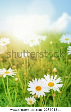 Green Nature Background. Daisy flower and grass. - stock photo