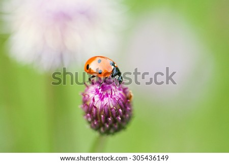 Green nature ecological concept. Small red ladybug. Lady bird on a top blue, violet flower. Centaurea jacea, basketflowers. Soft and blurry garden background. Copy space. Macro photo.  - stock photo