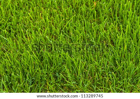 Green neatly cut lawn grass close-up background