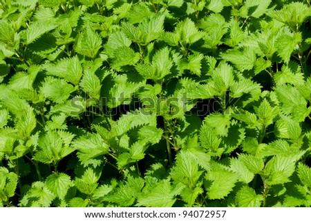 Green nettle field in spring - stock photo