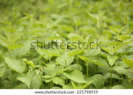 green nettle field with selective focus - stock photo