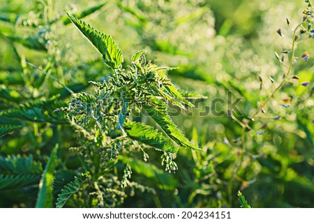 Green nettle herb growing in nature background - stock photo
