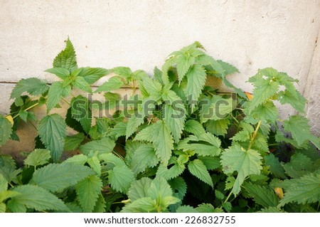 Green nettle with stinging leaves