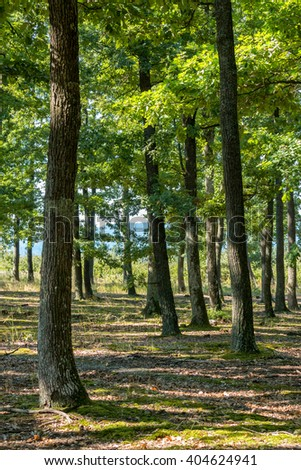 Green oak forest in a beautiful sunlight at spring - stock photo