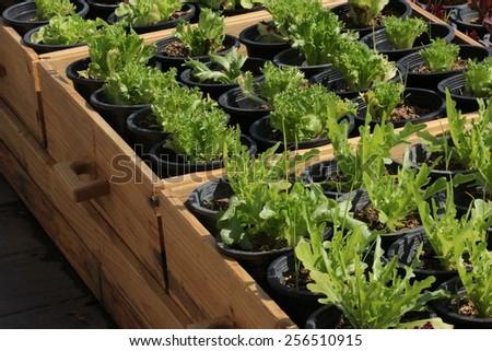 green oak in pod - stock photo