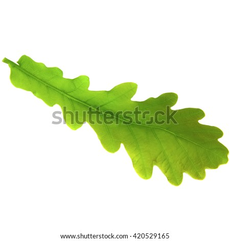 Green oak leaf isolated on white background. - stock photo