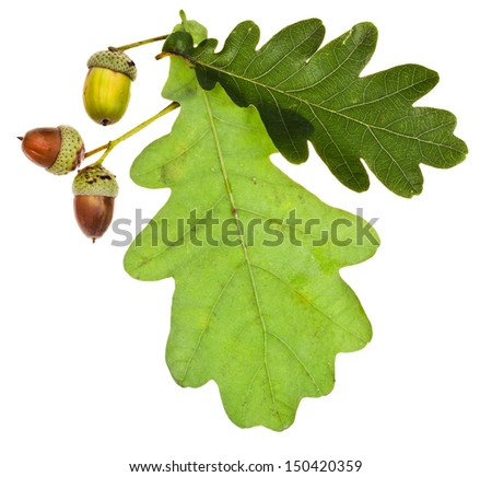 green oak leaves and acorns isolated on white background - stock photo