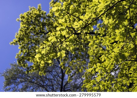 Green oak leaves sky blue and in bright sun - stock photo