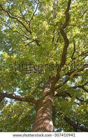 Green oak tree - stock photo