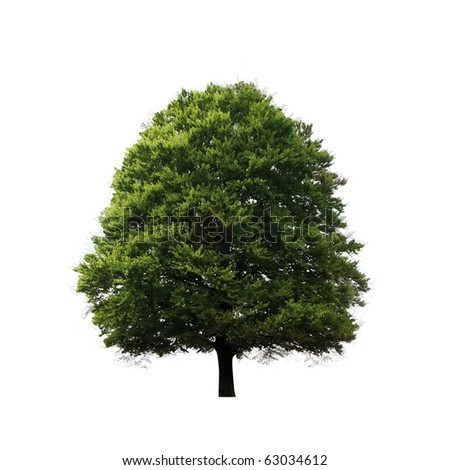 Green oak tree isolated on white - stock photo