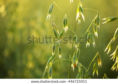 Green oat ears of wheat. - stock photo