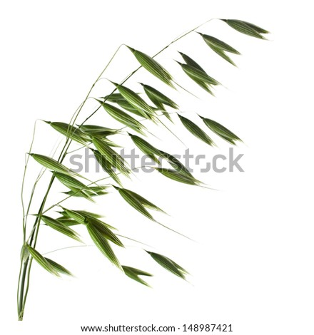 green oat plant closeup isolated on white background - stock photo
