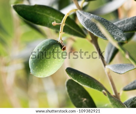 Green olive on the branch on the background of nature. - stock photo