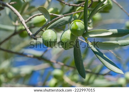 Green olives on a tree branch