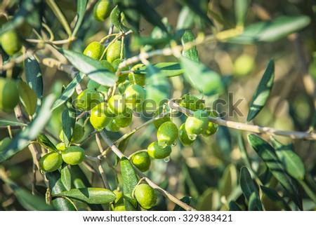 Green olives on olive oil on a rainy day - stock photo