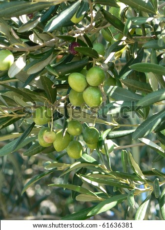 Green olives on olive tree - stock photo