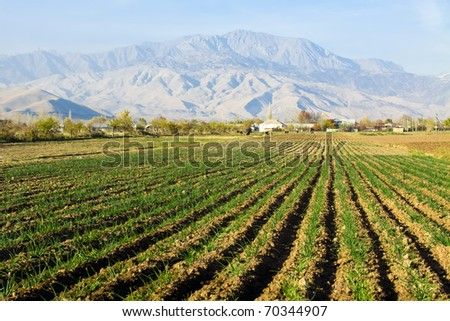 Green onion field in central Asia - stock photo