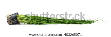 Green onion scallions in a pot isolated over the white background