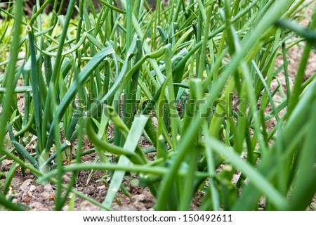 green onions as a background - stock photo