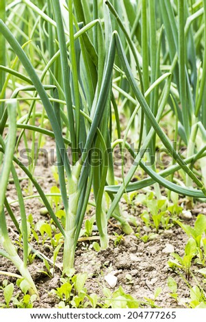 Green onions  in the garden - stock photo