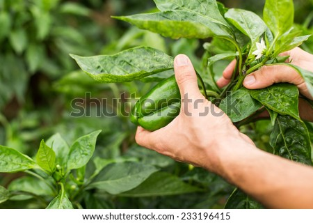 Green organic pepper with farmer hand in orchard. - stock photo