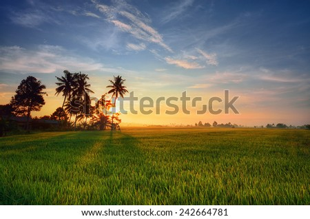 Green paddy field with sunrise background. Nature composition - stock photo