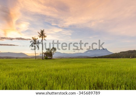 Green paddy on a background beautiful sunrise at Kota Belud, Sabah.
