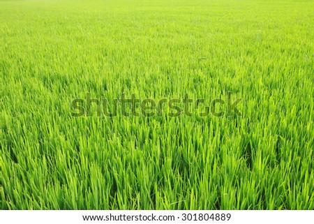 Green paddy rice field