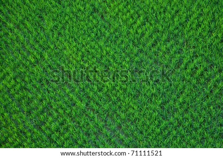 Green paddy rice in field Taken from a hot air balloon. - stock photo