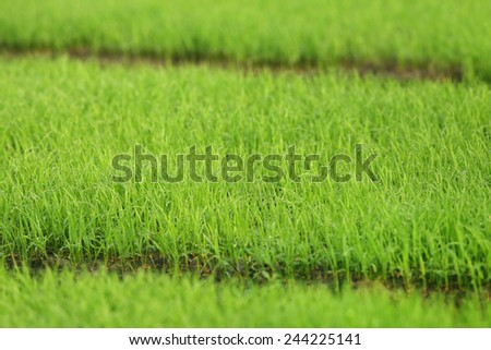 Green paddy seedlings in Bangladesh - stock photo