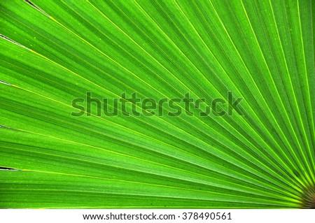 Green palm leaf closeup background - stock photo