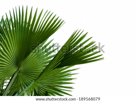 green palm leaf isolated on white background, clipping path included. - stock photo