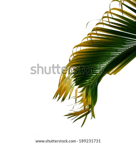 green palm leaves isolated on white background, clipping path included.