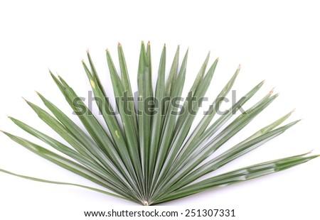green palm leaves (Livistona Rotundifolia palm tree) - stock photo
