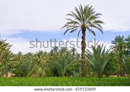 Green palm tree in Morocco