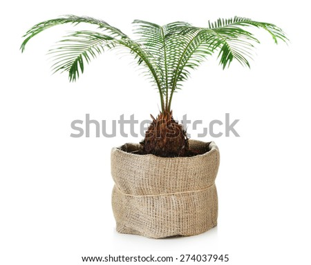 Green palm tree in pot isolated on white - stock photo